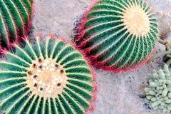 Cactus en desierto Fotos de archivo libres de regalías