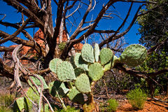 Cactus en dode boom Stock Afbeeldingen