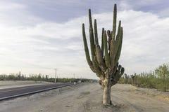 Cactus en el camino Fotos de archivo