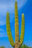 Cactus en el della California Sur (Messico) de Baja Imágenes de archivo libres de regalías