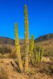 Cactus en el della California Sur (Messico) de Baja Fotografía de archivo