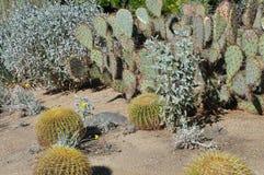 Cactus en el desierto Foto de archivo libre de regalías