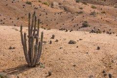 Cactus en el desierto en Atacama, Chile Imagen de archivo libre de regalías