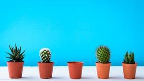 Cactus en el escritorio con las paredes azules dulces Imagenes de archivo