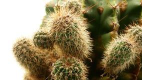 Cactus en el fondo blanco aislado 4k metrajes