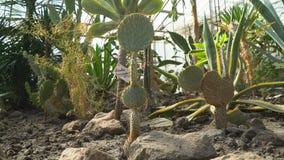 Cactus en el jardín botánico, fotografía de la paralaje almacen de video