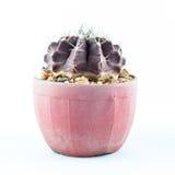 Cactus en el pote aislado Foto de archivo libre de regalías