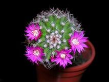 Cactus en fleur photographie stock libre de droits