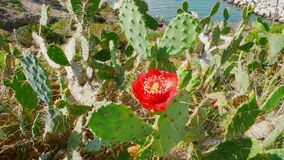 Cactus en fleur 2 image libre de droits