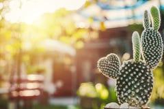 Cactus en forma de corazón del conejito, Opuntia en el sol del mornig Fotografía de archivo