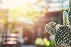 Cactus en forma de corazón del conejito, Opuntia en el sol del mornig Foto de archivo
