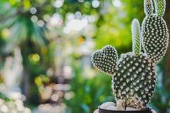 Cactus en forma de corazón del conejito, Opuntia en el sol del mornig Imagen de archivo libre de regalías