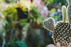 Cactus en forma de corazón del conejito, Opuntia en el sol del mornig Fotos de archivo