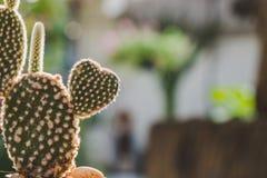 Cactus en forme de coeur de lapin, opuntia dans le soleil de mornig Image libre de droits