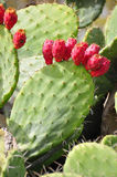Cactus en fruit Royalty-vrije Stock Fotografie