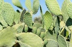 Cactus en Ikaria, Grecia Foto de archivo libre de regalías