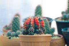 Cactus en invernadero Imagenes de archivo