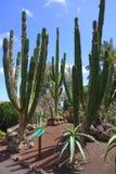 Cactus en jardín botánico en la isla de Fuerteventura Foto de archivo libre de regalías