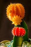Cactus en jardín interior Fotografía de archivo