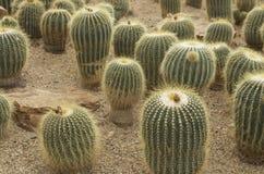 Cactus en la arena Fotos de archivo