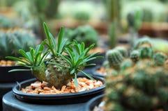 Cactus en la bandeja del jardín Imagen de archivo