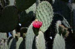 Cactus en la floración Foto de archivo libre de regalías