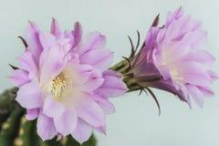 Cactus en la floración Imagenes de archivo