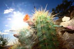 Cactus en la primera luz imágenes de archivo libres de regalías