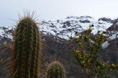 Cactus en la reserva nacional de RÃo Blanco, Chile central, un alto valle de la biodiversidad en Los los Andes imagen de archivo libre de regalías