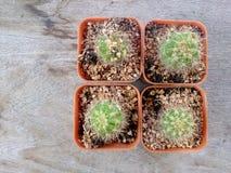 Cactus en la tabla de madera Imagen de archivo