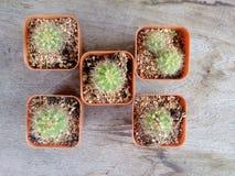 Cactus en la tabla de madera Fotografía de archivo