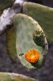 Cactus en Lanzarote Fotos de archivo libres de regalías