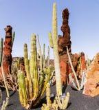 Cactus en Lanzarote, islas Canarias, España imagen de archivo libre de regalías