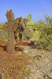 Cactus en las islas de las Islas Galápagos áridas del paisaje, Ecuador Imágenes de archivo libres de regalías