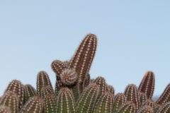 Cactus en nuestro jardín Fotografía de archivo