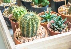 Cactus en pequeños potes Foto de archivo libre de regalías