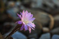 Cactus en pleine floraison Photographie stock libre de droits