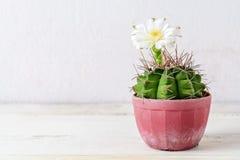 Cactus en pote en una tabla de madera Foto de archivo libre de regalías