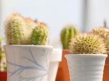 Cactus en potes Fotografía de archivo