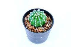 Cactus en potes plásticos Foto de archivo libre de regalías