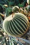 Cactus en serre chaude Photographie stock libre de droits