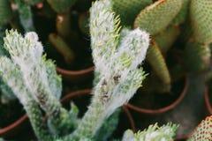 Cactus en serre chaude, la culture des cactus, usines rares de cactus avec des fleurs Effet de FILN et foyer peu profond Images stock