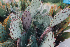 Cactus en serre chaude, la culture des cactus, usines rares de cactus avec des fleurs Effet de FILN et foyer peu profond Image stock