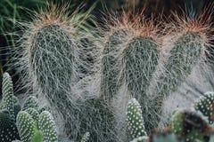 Cactus en serre chaude, la culture des cactus, usines rares de cactus avec des fleurs Effet de FILN et foyer peu profond Photo stock