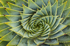 Cactus en spirale d'aloès Photographie stock libre de droits