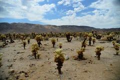 Cactus en stationnement national d'arbre de Joshua Image libre de droits