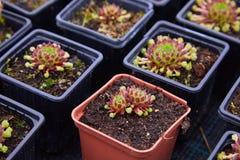 Cactus en Succulente Echeveria Crassulaceae Echeveria SP royalty-vrije stock afbeelding