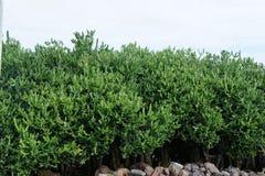 Cactus en tant que représentants lumineux de flore tropicale exotique sur l'île de Rodriguez images libres de droits