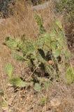 Cactus en un campo en el rastro de la misión Fotografía de archivo libre de regalías