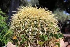 Cactus en un pote Foto de archivo